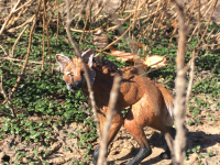 Maned Wolf.png